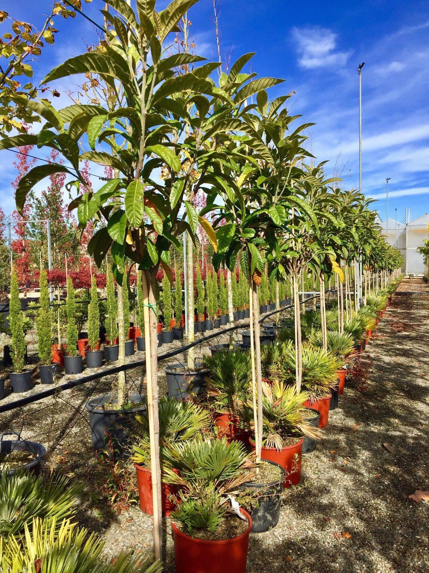 TROPICA - 2 graines- Magie tropicale N/éflier du Japon Eriobotrya japonica