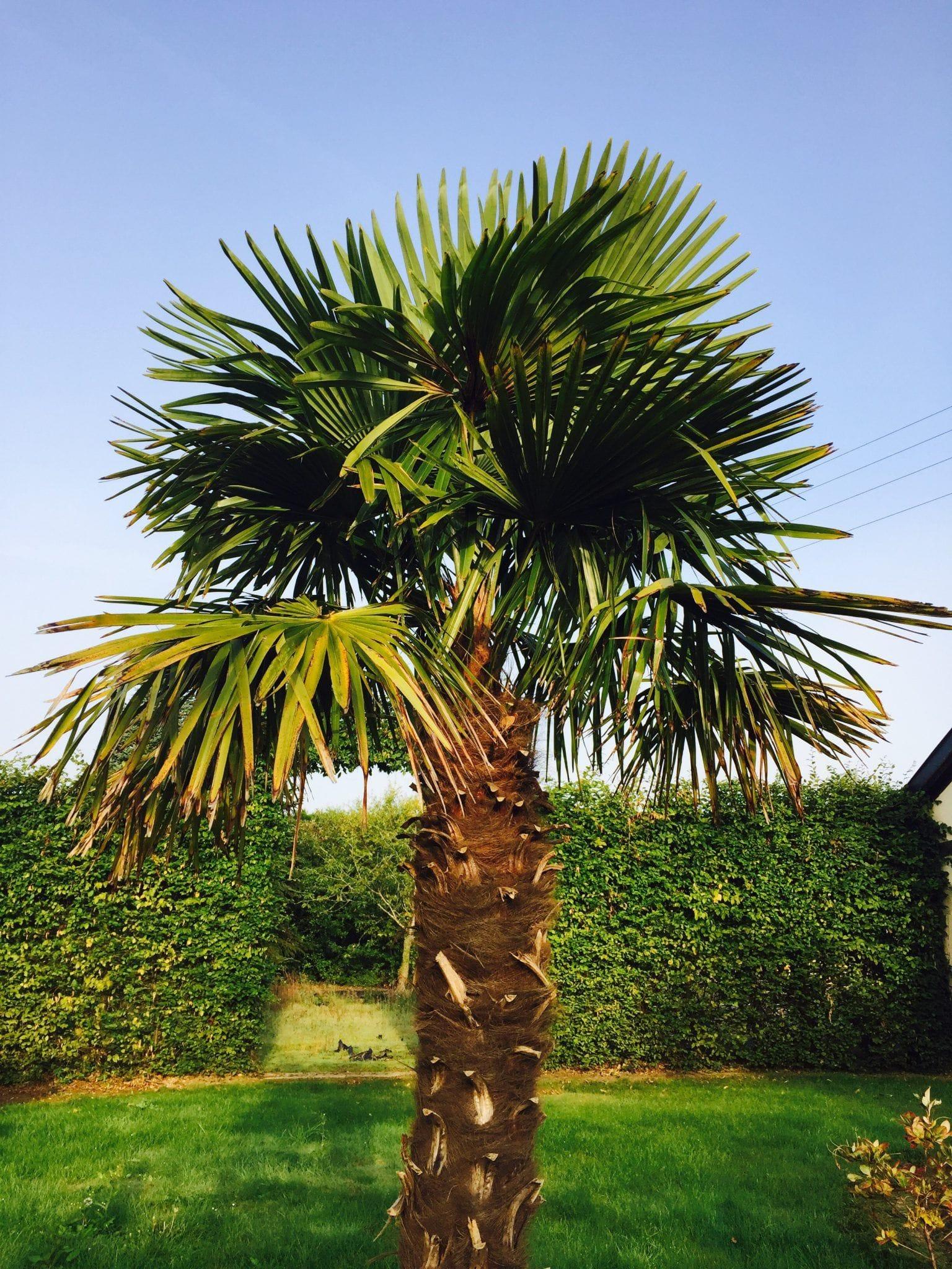 vid o comment enlever les palmes mortes d un palmier chamaerops excelsa. Black Bedroom Furniture Sets. Home Design Ideas