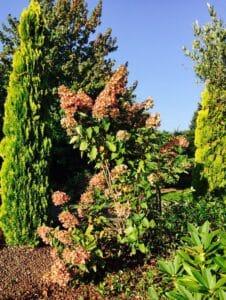 vid o comment rabattre un hortensia hydrangea paniculata. Black Bedroom Furniture Sets. Home Design Ideas