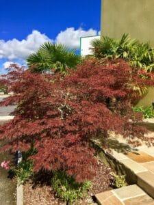 Acer palmatum - Vgtx à terre de bruyère