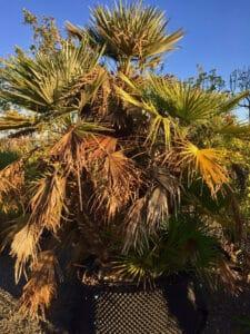Vid o comment tailler un palmier d gager les troncs d 39 un chamaerops humilis p pini res - Quand tailler un palmier ...
