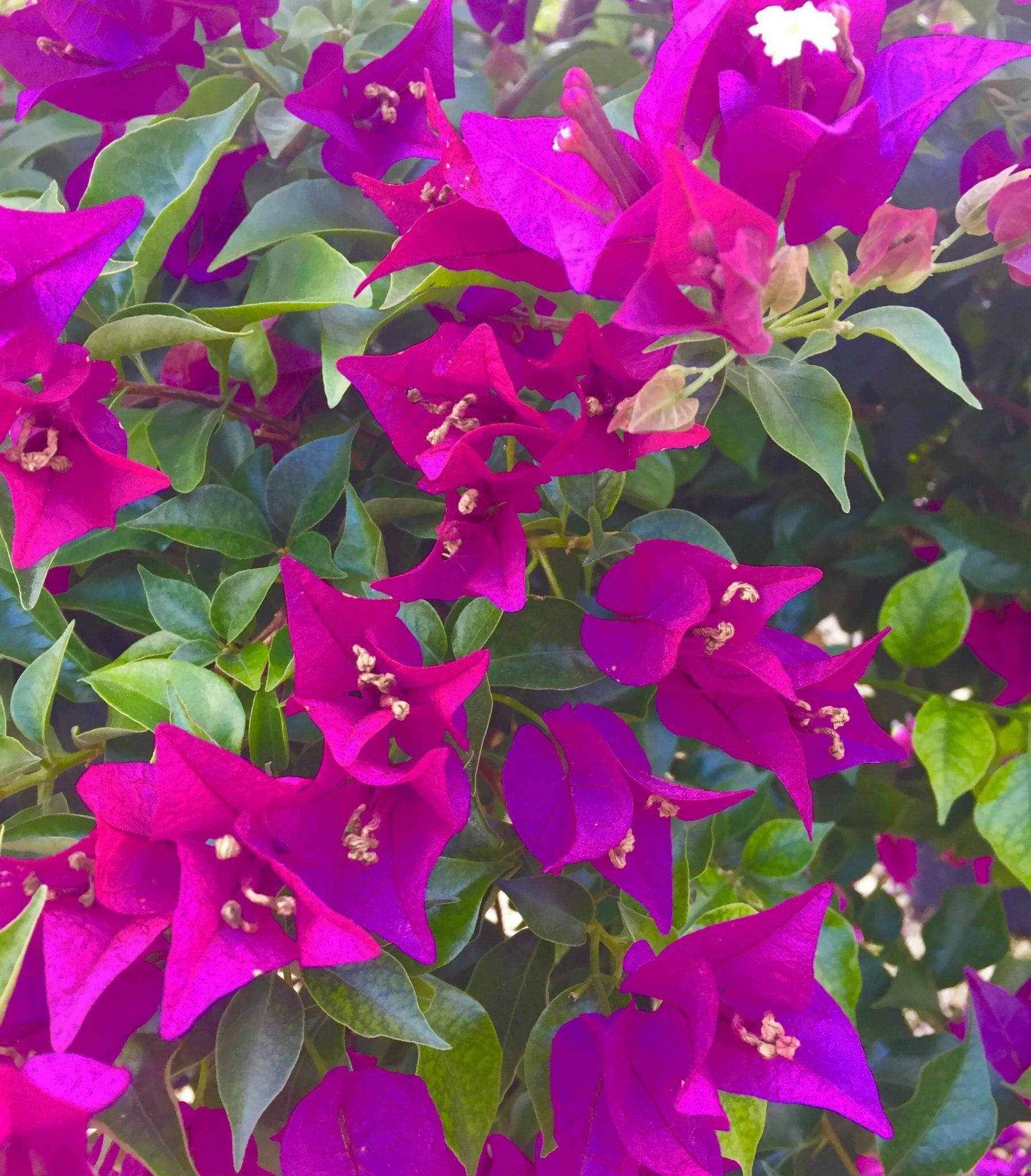 bougainvillea - arbustes persistants
