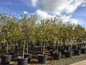 Vid o comment tailler un arbre fruitier a pepins - Coupe des arbres fruitiers ...