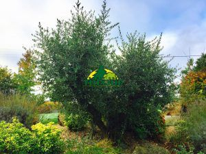 Vid o comment tailler un olivier forme toscane p pini res dominique tuloup - Comment tailler un olivier ...