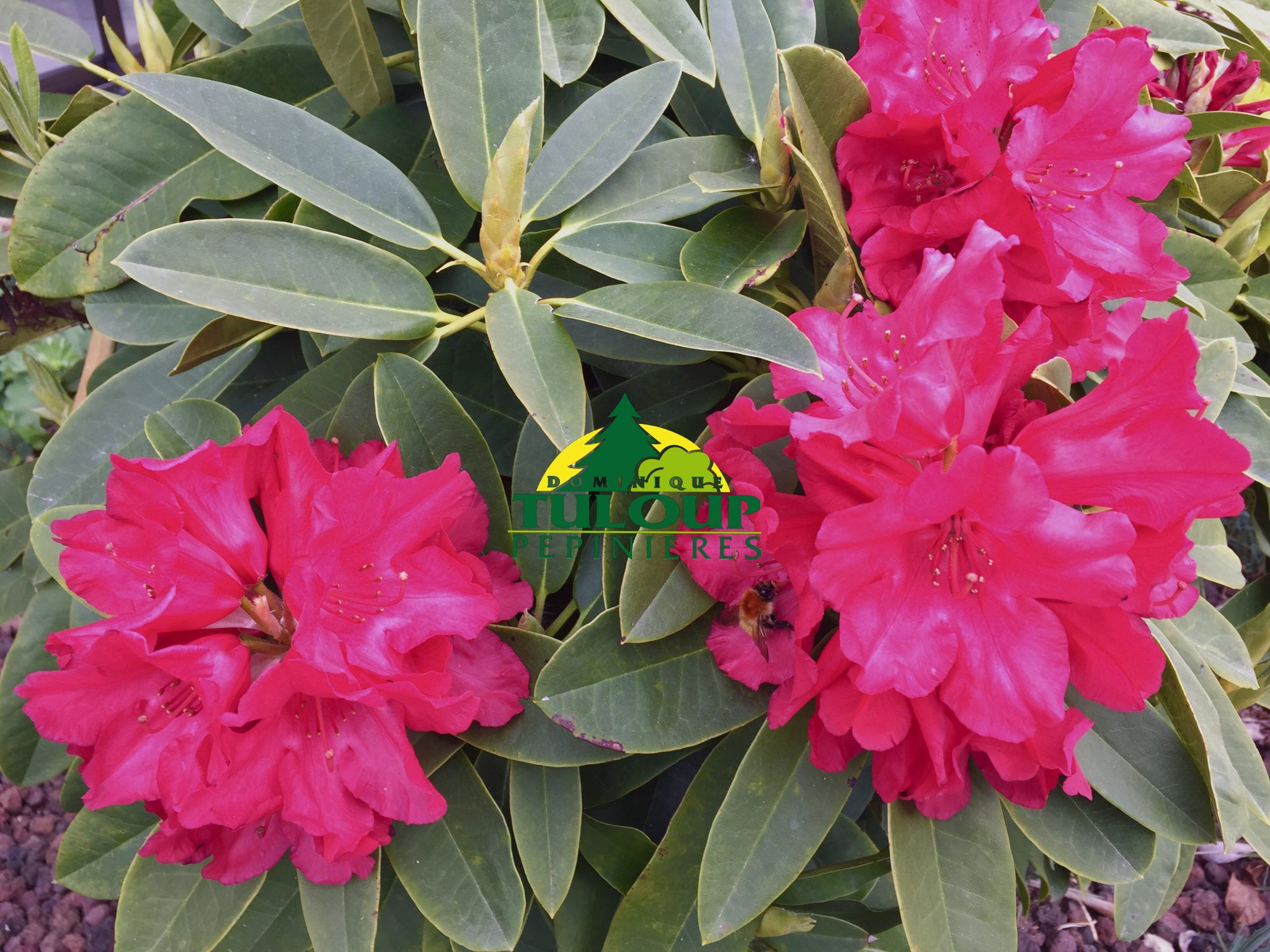 rhododendron x arbustes persistants. Black Bedroom Furniture Sets. Home Design Ideas